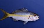 Yellowtail snapper by Glenn Parsons