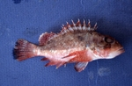 Scorpionfish by Glenn Parsons