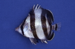Butterflyfish by Glenn Parsons