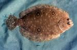 Flounder by Glenn Parsons