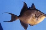 Trigger fish by Glenn Parsons