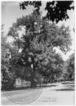 Grant Oak on North Lamar Boulevard by J. R. Cofield