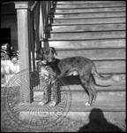 Catahoula Parish Hog Dogs, image 11 by Bern Keating