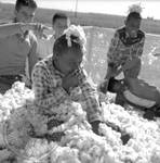 African American children and white children playing in bin of cotton: Image 1 by Edwin E. Meek