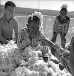 African American children and white children playing in bin of cotton: Image 2 by Edwin E. Meek