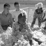 African American children and white children playing in bin of cotton: Image 3 by Edwin E. Meek