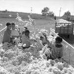 African American children and white children playing in bin of cotton: Image 4 by Edwin E. Meek