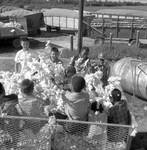 African American children and white children playing in bin of cotton: Image 5 by Edwin E. Meek
