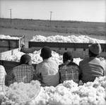 African American children and white children playing in bin of cotton: Image 7 by Edwin E. Meek