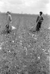 Cotton picking for Brown's Gin and Wholesale, image 001 by Martin J. Dain (1924-2000)