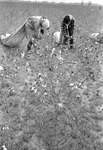 Cotton picking for Brown's Gin and Wholesale, image 002 by Martin J. Dain (1924-2000)