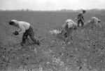 Cotton picking for Brown's Gin and Wholesale, image 004 by Martin J. Dain (1924-2000)