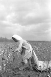 Cotton picking for Brown's Gin and Wholesale, image 006 by Martin J. Dain (1924-2000)