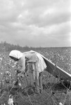 Cotton picking for Brown's Gin and Wholesale, image 007 by Martin J. Dain (1924-2000)
