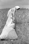 Cotton picking for Brown's Gin and Wholesale, image 009 by Martin J. Dain (1924-2000)