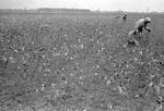 Cotton picking for Brown's Gin and Wholesale, image 013 by Martin J. Dain (1924-2000)