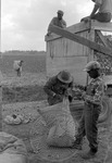 Cotton picking for Brown's Gin and Wholesale, image 015 by Martin J. Dain (1924-2000)