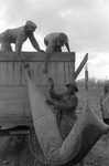 Cotton picking for Brown's Gin and Wholesale, image 020 by Martin J. Dain (1924-2000)