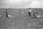 Cotton picking for Brown's Gin and Wholesale, image 040 by Martin J. Dain (1924-2000)