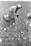 Cotton picking for Brown's Gin and Wholesale, image 041 by Martin J. Dain (1924-2000)