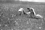 Cotton picking for Brown's Gin and Wholesale, image 043 by Martin J. Dain (1924-2000)