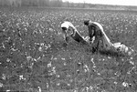 Cotton picking for Brown's Gin and Wholesale, image 044 by Martin J. Dain (1924-2000)