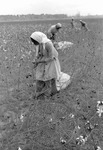 Cotton picking for Brown's Gin and Wholesale, image 045 by Martin J. Dain (1924-2000)
