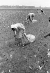 Cotton picking for Brown's Gin and Wholesale, image 046 by Martin J. Dain (1924-2000)