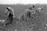 Cotton picking for Brown's Gin and Wholesale, image 047 by Martin J. Dain (1924-2000)