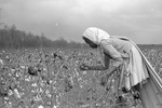 Cotton picking for Brown's Gin and Wholesale, image 049 by Martin J. Dain (1924-2000)