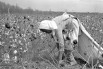 Cotton picking for Brown's Gin and Wholesale, image 050 by Martin J. Dain (1924-2000)