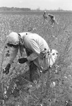 Cotton picking for Brown's Gin and Wholesale, image 051 by Martin J. Dain (1924-2000)