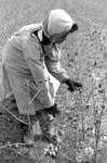Cotton picking for Brown's Gin and Wholesale, image 056 by Martin J. Dain (1924-2000)