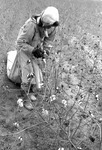 Cotton picking for Brown's Gin and Wholesale, image 057 by Martin J. Dain (1924-2000)