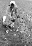 Cotton picking for Brown's Gin and Wholesale, image 058 by Martin J. Dain (1924-2000)
