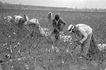 Cotton picking for Brown's Gin and Wholesale, image 060 by Martin J. Dain (1924-2000)
