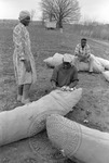 Cotton picking for Brown's Gin and Wholesale, image 075 by Martin J. Dain (1924-2000)