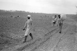 Cotton picking for Brown's Gin and Wholesale, image 077 by Martin J. Dain (1924-2000)