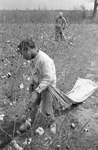 Cotton picking for Brown's Gin and Wholesale, image 080 by Martin J. Dain (1924-2000)