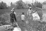 Cotton picking for Brown's Gin and Wholesale, image 085 by Martin J. Dain (1924-2000)