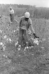 Cotton picking for Brown's Gin and Wholesale, image 029 by Martin J. Dain (1924-2000)