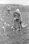 Cotton picking for Brown's Gin and Wholesale, image 030 by Martin J. Dain (1924-2000)