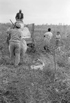 Cotton picking for Brown's Gin and Wholesale, image 086 by Martin J. Dain (1924-2000)