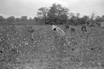 Cotton picking for Brown's Gin and Wholesale, image 099 by Martin J. Dain (1924-2000)