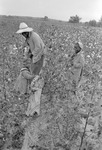 Cotton picking for Brown's Gin and Wholesale, image 101 by Martin J. Dain (1924-2000)