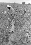 Cotton picking for Brown's Gin and Wholesale, image 102 by Martin J. Dain (1924-2000)