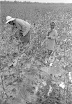 Cotton picking for Brown's Gin and Wholesale, image 103 by Martin J. Dain (1924-2000)