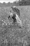 Cotton picking for Brown's Gin and Wholesale, image 104 by Martin J. Dain (1924-2000)