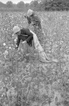 Cotton picking for Brown's Gin and Wholesale, image 105 by Martin J. Dain (1924-2000)