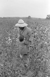 Cotton picking for Brown's Gin and Wholesale, image 106 by Martin J. Dain (1924-2000)